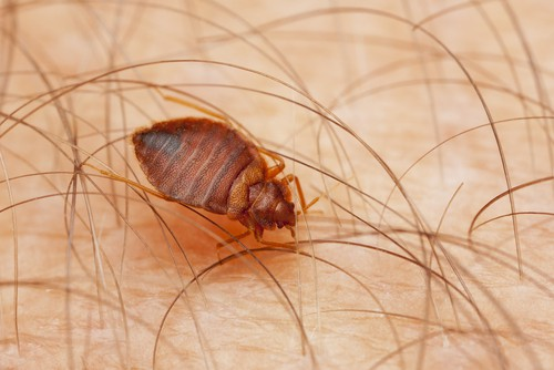 bed-bugs-are-common