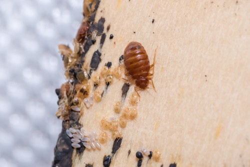 what-are-bed-bugs-and-how-to-eliminate-them
