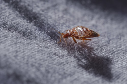 Where Do Bedbugs Come From?