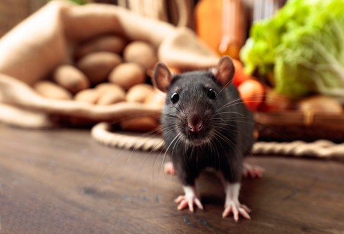 How To Prevent Rodents in My Restaurant?